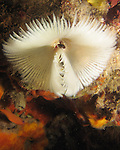 Kenting, Taiwan -- An unidentified fan worm of the  Sabellidae family is shown.