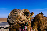 Morocco, Marrakesh. Dromedary and their herder between Marrakesh and Beni Mellal.