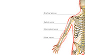 A posterior view of the nerve supply of upper limb. The surface anatomy of the body is semi-transparent and tinted red. Royalty Free
