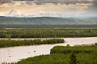 Moose crosses the Tanana River, Alaska range mountains in the distance.