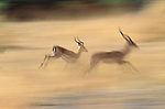 Impalas, Okavango Delta, Botswana