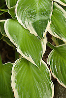 Hosta fortunei Albo-marginata