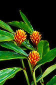 Three red-and-yellow bracts and green foliage of a Costus ginger plant against a black background