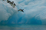 Adelie Penguin (Pygoscelis adeliae) diving off iceberg.  Devil Island, Antarctica.