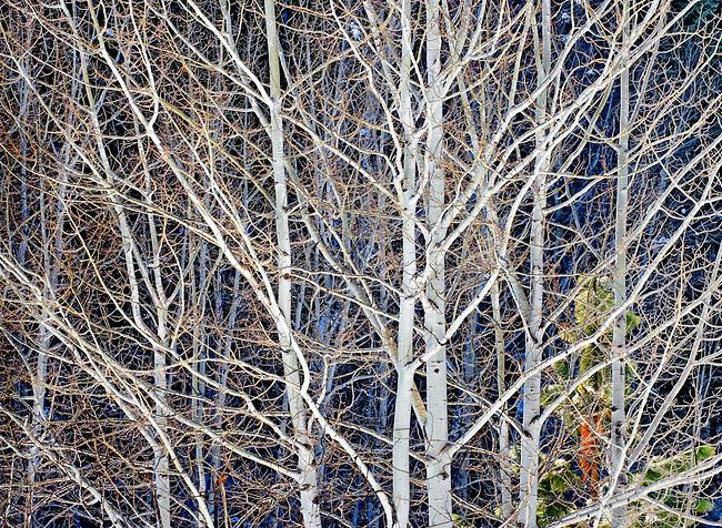 luminescent stand of winter aspen trees, Washington Cascades