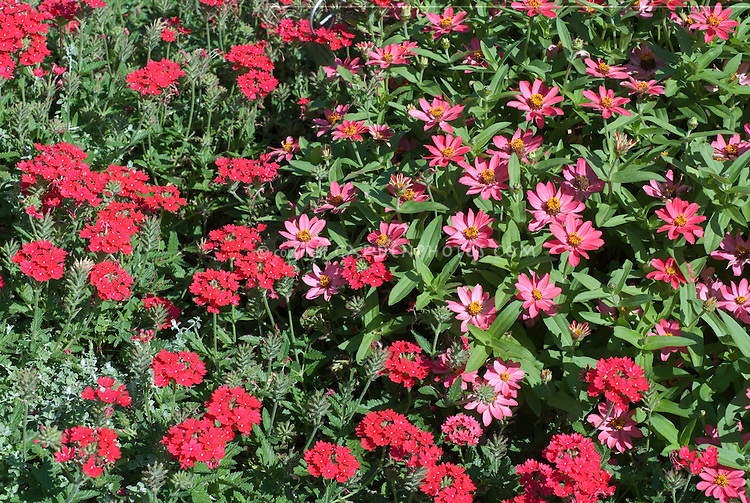 Verbena 'Sensatia Raspberry' with Zinnia 'Profusion Coral Pink' two different annual flowers in summer bloom