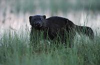Eurasian Wolverine, Gulo gulo.Kuhmo, Finland