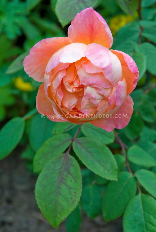 Rose Lady Emma Hamilton aka Ausbrother in bloom, English David Austin orange rose