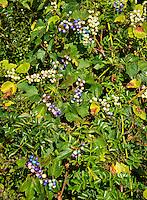 Colofrful wild Porcelain-berries, Ampelopsis brevipedunculata, Massachusetts, USA