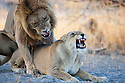 Botswana, Okavango Delta, Moremi; lions snarling while mating