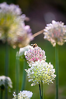 A bee gathers nectar on the flowers of a garlic plant.