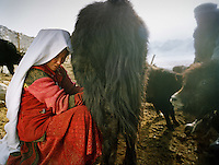 Naeem Man's mum (Nassim's brother's wife) milking yaks in the morning. .Campment of Sary Tash..Winter expedition through the Wakhan Corridor and into the Afghan Pamir mountains, to document the life of the Afghan Kyrgyz tribe. January/February 2008. Afghanistan