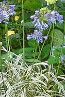 Agapanthus &lsquo;Summer Sky&rsquo; (Variegated) blue flowers summer bulb