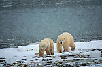 Polar bears in snow storm, Canada