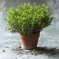 Gastronomie générale:  Sarriette de  Chez Samuel Parent à Oléron - Stylisme : Valérie LHOMME // Satureja is a genus of aromatic plants of the family Lamiaceae,