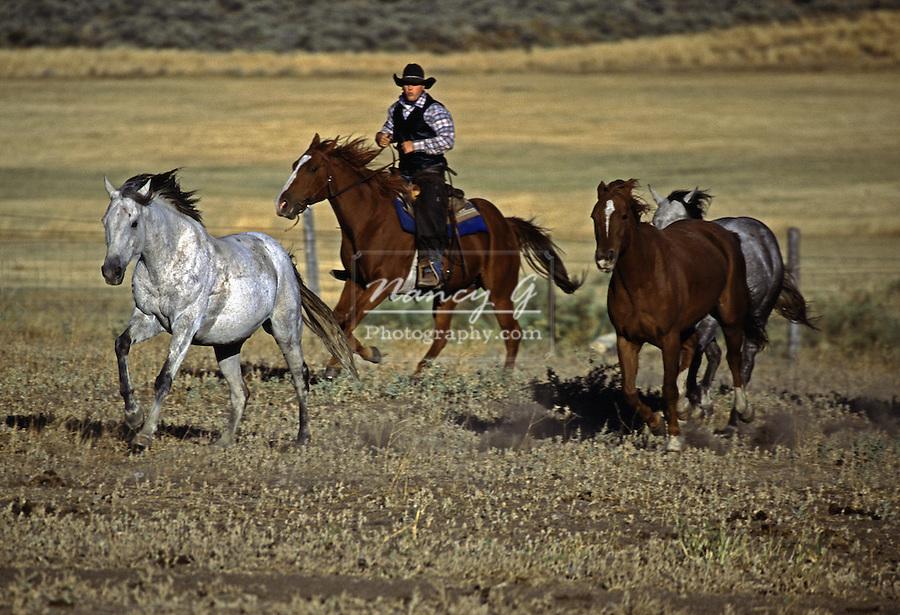 Cowboy in Oregon chasing running horses.