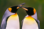 King penguins (Aptenodytes patagonicus), South Georgia Island<br /> Canon EOS-1N/RS<br /> Canon TS-E 90mm lens<br /> December 1998