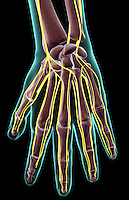 A posterior view of the nerve supply of the left hand. The surface anatomy of the body is semi-transparent and tinted green. Royalty Free
