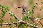 Red-billed hornbill (Tockus erythrorhynchus), also known as the &quot;flying chili pepper.&quot;<br /> <br /> Zambezi National Park, Zimbabwe