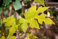 Ampelopsis brevipedunculata climbing vine in autumn fall foliage color