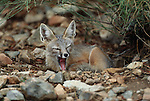 Kit fox, Sonoran Desert, Arizona
