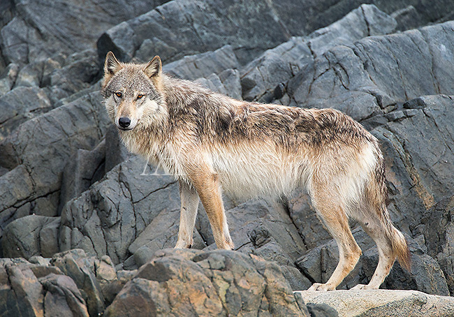 We were fortunate to see three coastal wolves during our week in British Columbia.  This individual provided the highlight of the trip, getting within 20 yards at one point.