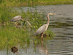 Two Great Blue Herons near the shoreline in a pond and prairie restoration project near Lake Nokomis