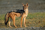 Black-backed jackal, Ngorongoro Conservation Area, Tanzania