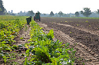 A farm field of beets being harvested.