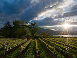 Sunburst over Red Rooster vineyards, Naramata Bench, Penticton, Okanagan, British Columbia, Canada
