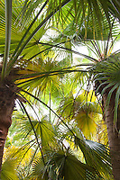 Brahea edulis (Guadalupe Palm tree) leaf fronds in Worth garden
