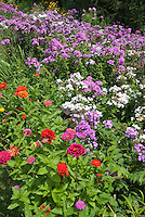 Phlox paniculata naturalized, with Zinnias in annuals and perennials flower garden growing together in summer bloom