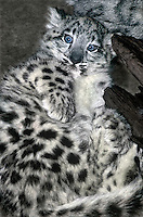 654403050 a young snow leopard cub panthera uncia lays against a large log in its enclosure in a zoo - species is highly endangered in the wild - species is native to the high steppes of central asia