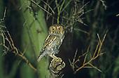 Elf Owl (Micrathene whitneyi), Arizona, USA