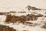 Grand Bahama Island, The Bahamas; two Ruddy Turnstone (Arenaria interpres) birds on the sand at Taino Beach