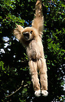 White Handed Gibbon (Hylobates lar) - captive, hanging from tree canopy, Sabah, primate, ape, swinging brachiation, pendlum action to save energy.Borneo....