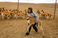 A boy herds vicunas in the Peruvian Andes.