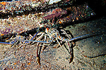 Spiny Lobster Under Hull Plating, Oro Verde, Shipwreck, Grand Cayman