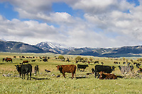 Cattle grazing along the Absaroka Front in Wyoming