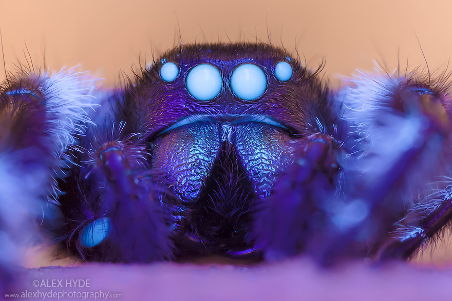 Regal Jumping Spider {Phidippus regius} male illuminated with UV light. Spiders posses fluorophores in their haemolymph, causing their eyes and joints to fluoresce under ultraviolet light. Captive, originating from North America.
