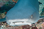 Cocos Island, Costa Rica; a Whitetip Reef Shark (Triaenodon obesus) resting on the rocky reef during the day