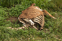 A horse carcass lies in a pasture in Saint-Laurent, Manitoba, Friday August 14, 2015.