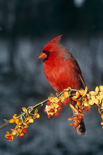 Northern Male cardinal, cardinal cardinalis, perched on icy bittersweet, Celastrus Scandens, branch, Midwest USA