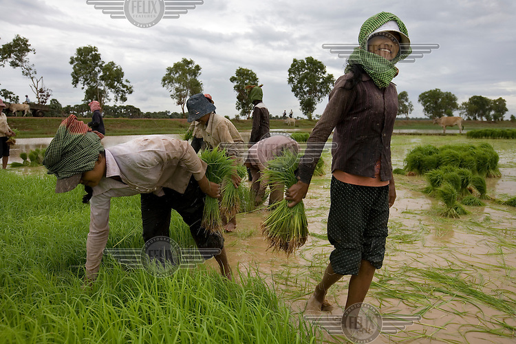The Phon family farm their rice paddy in Kampong Thom, central Cambodia.