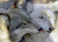 """""""Kissing Wolves""""   #Z2"""