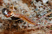 House Centipede (Scutigera coleoptrata) feeding on an Ant.