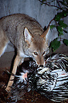 Coyote eating a chicken Coyote raiding a chicken coop