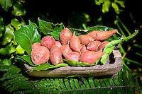 Organic sweet red potatoes ready for sale at Tauono's Plantation, Aitutaki Island, Cook Islands.