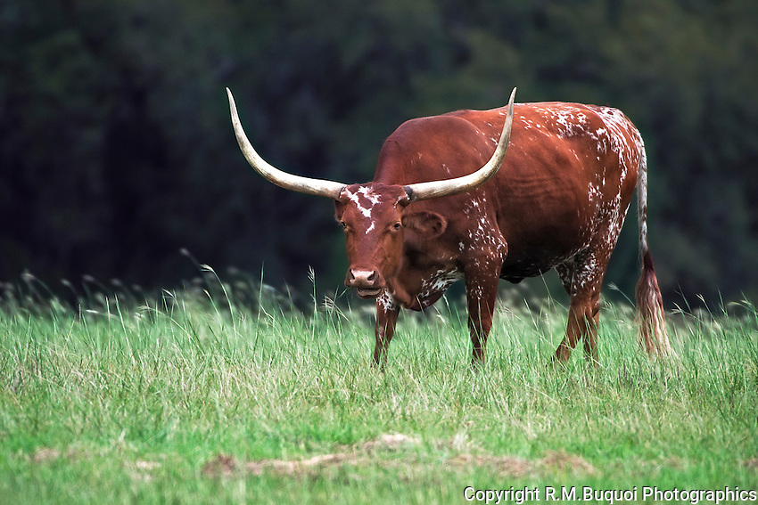 Longhorn Cow eating grass