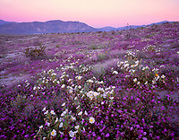 CADAB_110 - Desert sand verbena and dune evening primrose blooming on dunes at sunrise with Coyote Mountain in the distance, Anza-Borrego Desert State Park, California, USA --- (4x5 inch original, File size: 7679x6000, 132mb uncompressed)